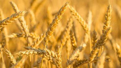 无麸质和无小麦:有什么区别?的照片